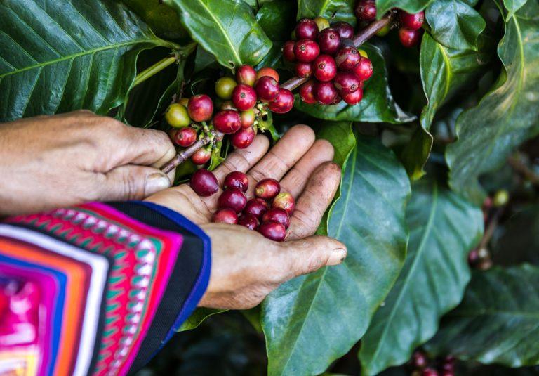 Kaffeepflanze Kaffeebohnen Beeren Früchte